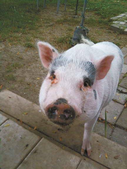 Pig Plays Hooky From School!