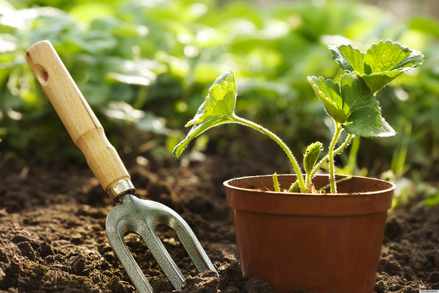 50+ Lifestyles » Yard and Garden: Prepare and Plant Onion Cultivars ...