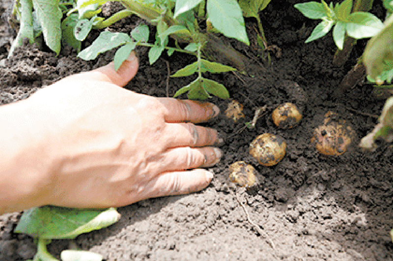 Yard and Garden: Planting and Raising Potatoes in Iowa
