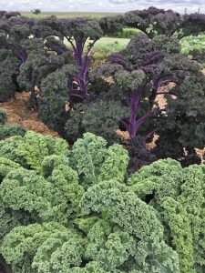 Fall Gardening Offers Opportunities for Late-Season Vegetables
