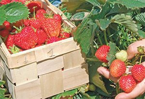 Yard and Garden: Maintaining a Strawberry Bed